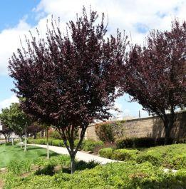 Thundercloud Plum Flowering Trees Thundercloud Tree