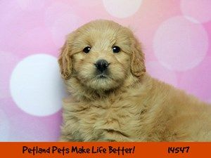 Dogs Puppies For Sale Petland Chicago Ridge Illinois Pet Store Puppies For Sale Golden Retriever Puppy Training Pets