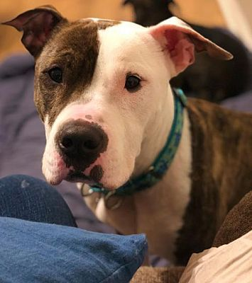 Pin On Pit Bull Rescue