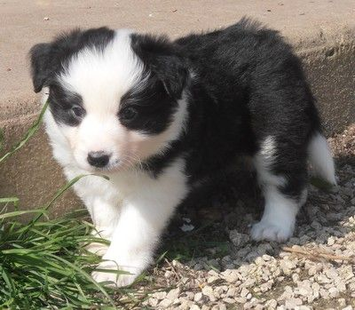 Chiots Borders Collies Border Collie Cute Dogs Collie