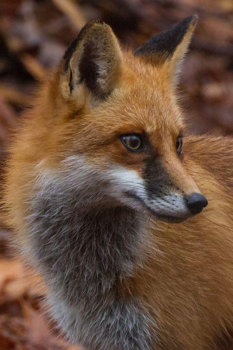 Fox Portrait turned Photo by bubbazinettisr20ve**