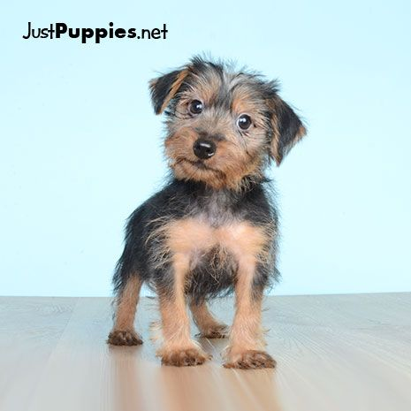 Puppies For Sale Orlando Fl Current Inventory Yorkie Puppy