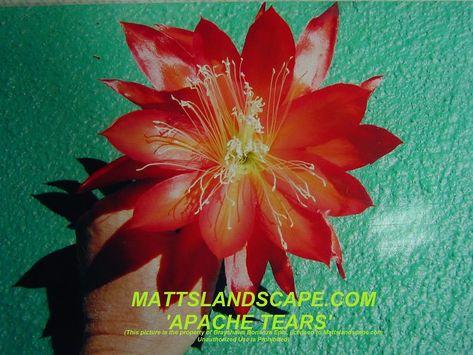 Hybride *** KING MIDAS *** Epiphyllum Epicactus Blattkakteen