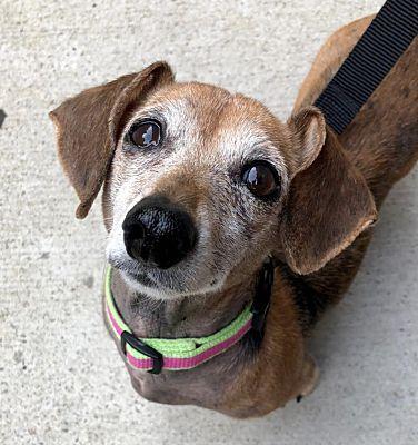 New York Ny Dachshund Meet Allie A Pet For Adoption Needs