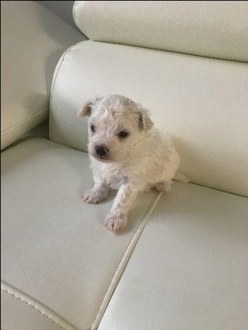 Litter Of 3 Maltese Puppies For Sale In Fairfax Va Adn 43733 On