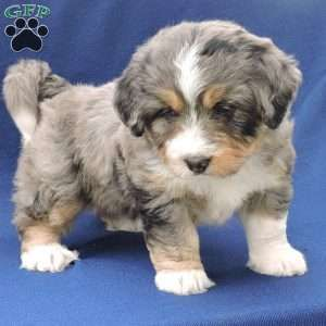 Max Mini Bernedoodle Puppy For Sale In Ohio Bernedoodle Mini Bernedoodle Bernedoodle Puppy