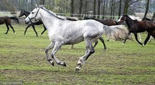 Polskie Konie Arabskie Szukaj W Google Konie I Kucyki Konie