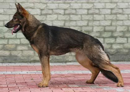 Image Result For Red Sable German Shepherd Puppies For Sale