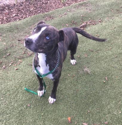 Adopt Rosalie On Pitbull Terrier Pitbulls Pet Adoption