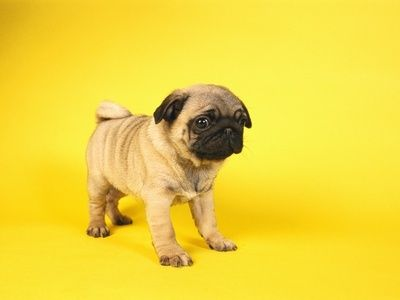 Baby Pug With Images Baby Pugs Cute Little Animals Pugs