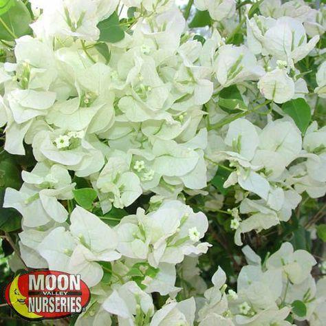 Bougainvillea White In 2020 Bougainvillea Plant Nursery Landscaping Plants