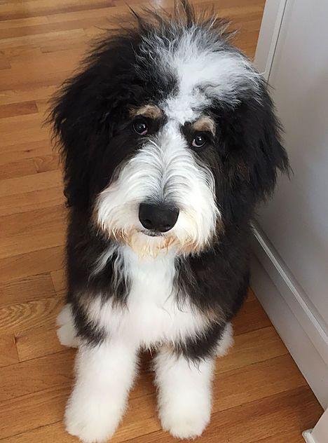 Bernadoodle Bernedoodle Puppy Bernedoodle Bernadoodle