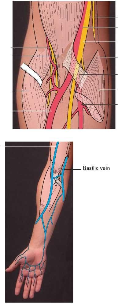 Ulnar Styloid Anatomy Images - human body anatomy