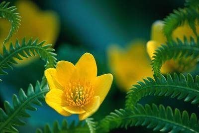 Does Evening Primrose Oil Suppress the Appetite?