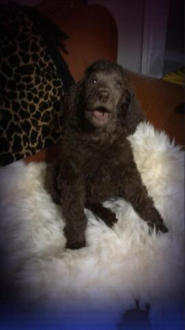 Standard Poodle Puppies Dogs Puppies For Rehoming City Of