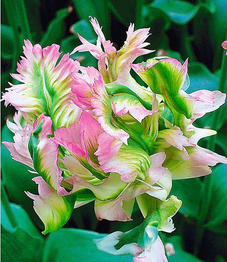 Papageien Tulpe Green Wave 5 Zwiebeln Gunstig Online Kaufen Mein Schoner Garten Shop Tulpen Garten Tulpen Exotische Blumen