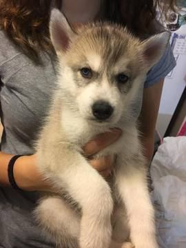 Litter Of 8 Siberian Husky Puppies For Sale In Joplin Mo Adn