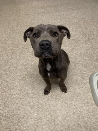 Adopt Hazel On Pitbull Terrier Terrier Mix Dogs Bull Terrier Mix