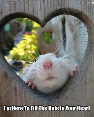So Cute 3 I Have Mice But Rats And Mice Are Some Of My Favorite Animals Pet Rats Cute Animals Cute Rats