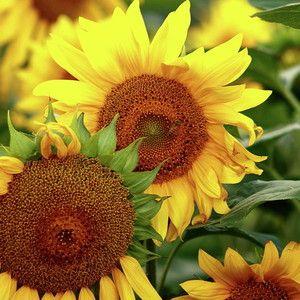 Sunflower 2 By Elayne Hand Sunflower Round Beach Towels Framed Prints