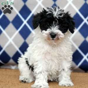 Mini Schnoodle Puppies For Sale Greenfield Puppies Schnoodle Puppy Mini Schnoodle Schnoodle