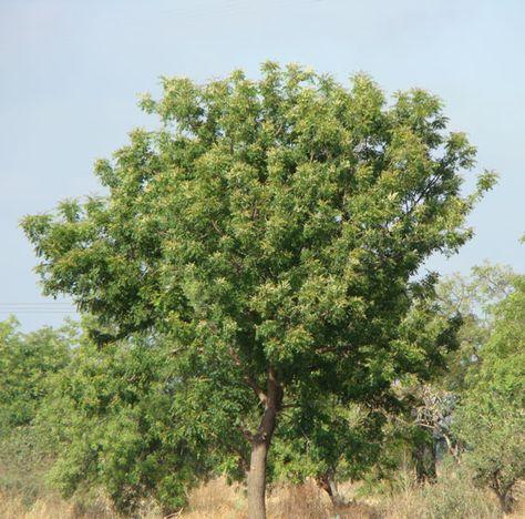Introduction To Neem Tree Organic Gardening Tips Gardening Tips Organic Gardening