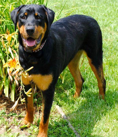 Adopt Bertha On Rottweiler Mix Rottweiler Mix Puppies