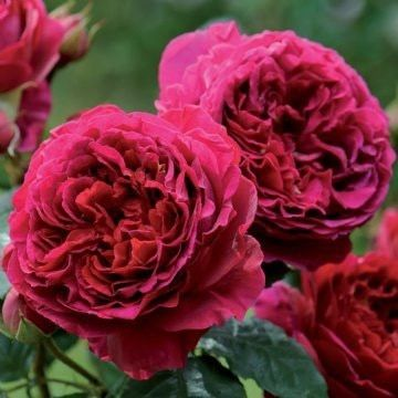 Falstaff - David Austin English Roses