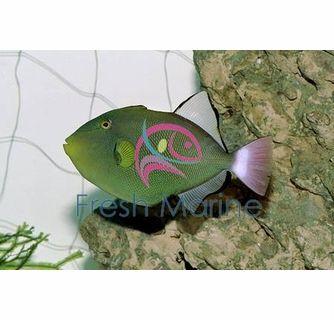 Pinktail Trigger Fish Melichthys Vidua Pink Tail Trigger Hawaii Triggerfish Cheap Hawaii Cool Fish Fish