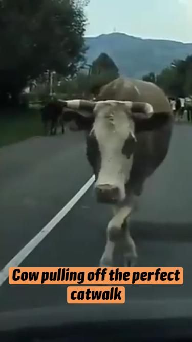 Cow pulling off the perfect catwalk