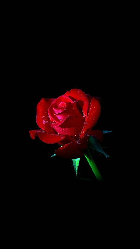Red Rose Dark Flower Nature Iphone 5s Wallpaper Dark Wallpaper Rose Wallpaper Flower Wallpaper