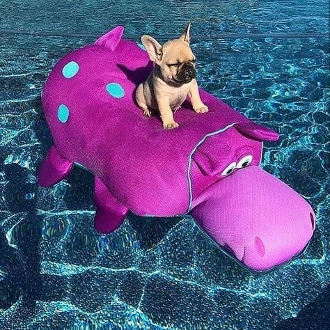 Just chillin in my pool! This is what I call French Bulldog Puppy paradise! ☀️ life is better with your pals