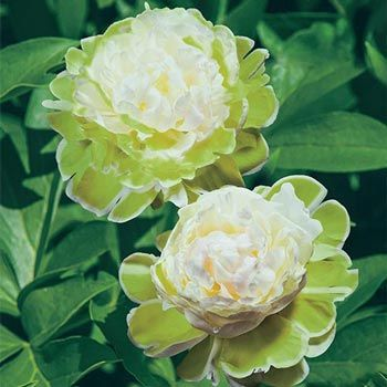 Green Halo Peony Spring Hill Nursery Bulb Flowers Clematis Vine