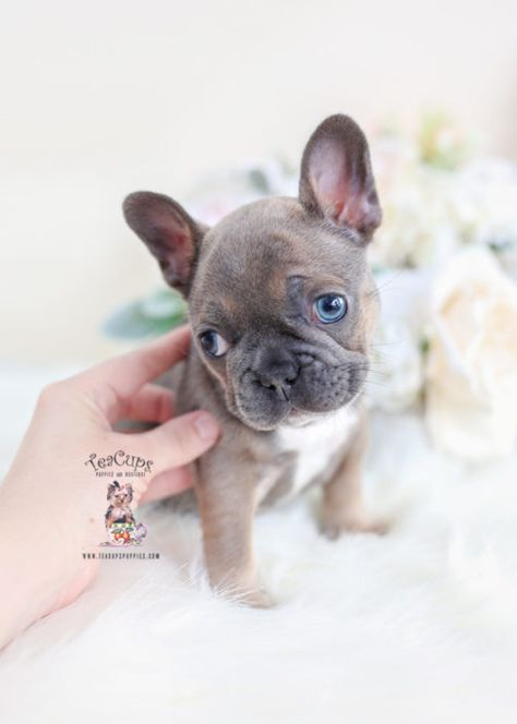 Blue French Bulldog Puppies For Sale Teacup Puppies 062 D French