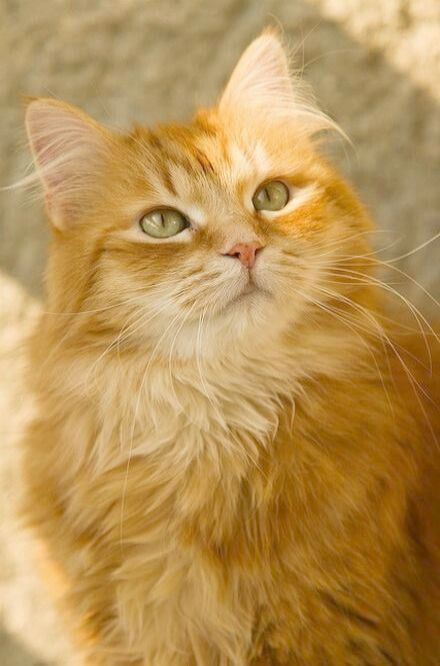 Ahh Beautiful Cats For Sale In Lahore Xo Beautiful Cats Orange Tabby Cats Pretty Cats