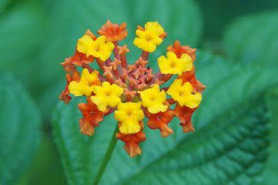 Poisonous Plant Lantana Camara Poisonous Plants Lantana Plants