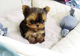 Teacup Yorkie For Sale Affordable Prices Yorkies For Sale Teacup Yorkie For Sale Yorkie