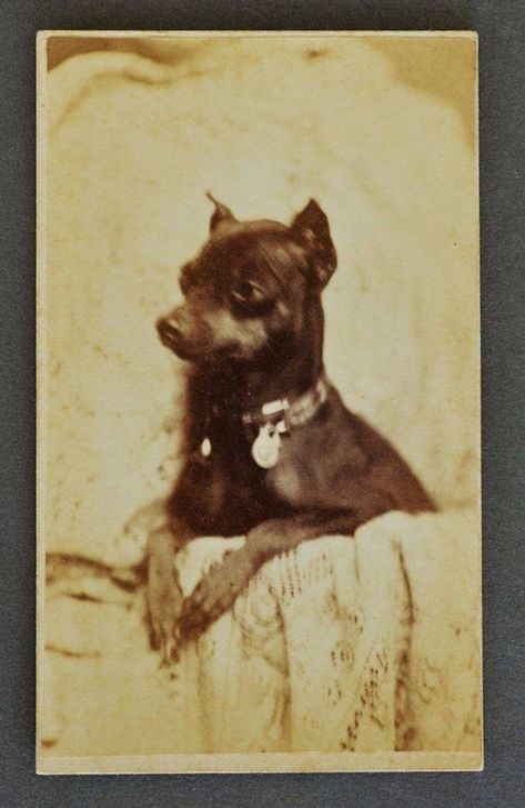 ENGLISH TOY BLACK AND TAN TERRIER OLD 1934 DOG PRINT MOUNTED READY TO FRAME