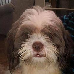 Hedgesville West Virginia Shih Tzu Meet Stetson A For Adoption Https Www Adoptapet Com Pet 25606770 Hedgesville West Virgini Shih Tzu Pets Pet Adoption