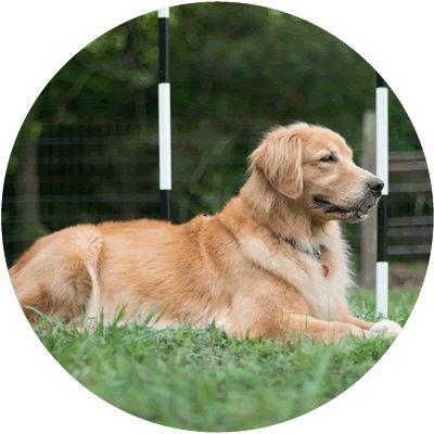 Loveline Golden Retrievers Douglasville Ga A Great Breeder And