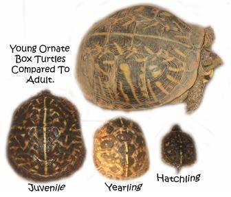 Sizechart Jpg 336 287 Box Turtle Turtle Tortoise Turtle