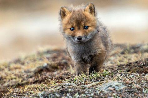 Ivan immortalise la beauté innocente des renards arctiques qui vivent dans la neige de Russie