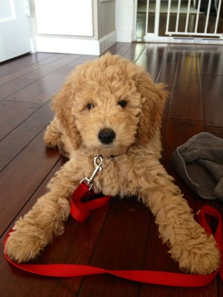 Ohhhhhhhh So sweet! A golden-doodle! A cross btwn a golden retriever & standard poodle.