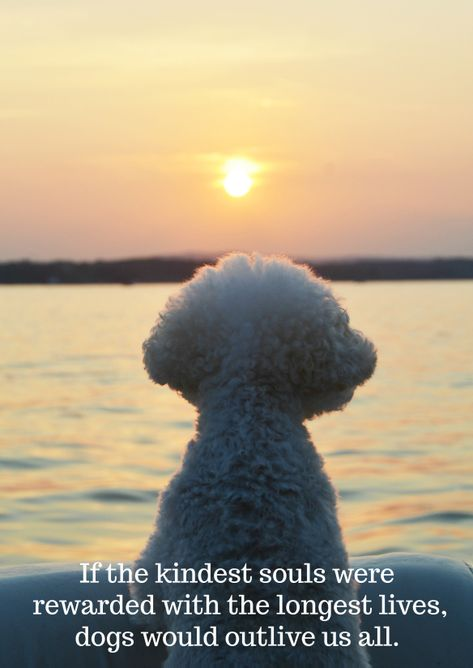 Weekend Waterview: Sunset Cruise on Lake Norman Bichon Frise, Bichon Dog, Puppy Cut, New Puppy, Puppy Love, Frise Art, I Love Dogs, Cute Dogs, Frozen Dog