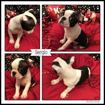 Boston Terrier Puppy For Sale In Odenville Al Adn 65851 On