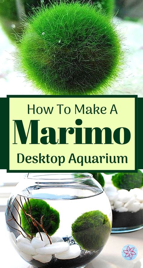 Marimo moss balls are easy to care for. Making a beautiful terrarium (or aquarium) for Marimos is fun and doesn't take much time. We will go over all the tips and design tricks you will need to know in today's post. Moss Garden, Garden Plants, Garden Beds, Air Plants, Indoor Plants, Marimo Moss Ball Terrarium, Indoor Water Garden, Water Gardens, Growing Moss