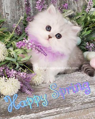 London Very Rare Black Smoke White Persian White Persian Kittens Baby Kittens Persian Kittens For Sale