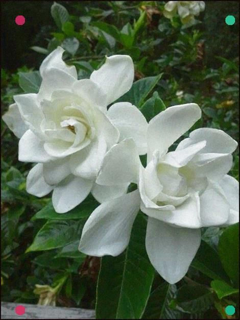 Pin By Marti On Gardenia With Images Flower Show Fragrant