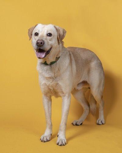 Adopt Gabe 9 On Petfinder In 2020 Dog Adoption Yellow Labrador Retriever Help Homeless Pets