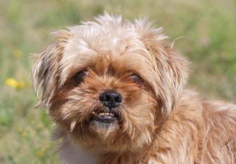 Pictures Of Willis A Shih Tzu For Adoption In Colorado Springs Co